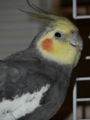bird cockatiel lexi