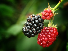 Blackberry (Don Gru) Tags: nature canon berry flora berries blackberry natur beere brombeere gtaggroup