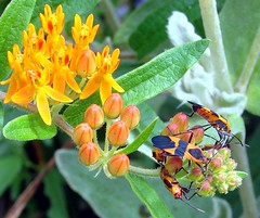 Orange and black insects on butterflyweed