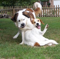 Strike a pose. (JAEbugs) Tags: playing dogs saint bernard 1025fav wow pose giant mutt gracie great vogue penny pyrenees gentle interestingness4 graciemae interestingness45 interestingness104 i500 abigfave