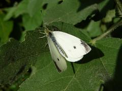 P1010497 (CSpronken) Tags: butterfly tz1
