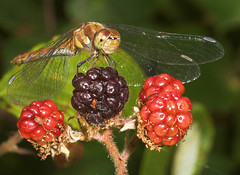"""Common Darter Dragonfly (Sympetrum s(26) • <a style=""""font-size:0.8em;"""" href=""""http://www.flickr.com/photos/57024565@N00/231602601/"""" target=""""_blank"""">View on Flickr</a>"""