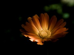 Spotlight (Don Gru) Tags: light shadow black flower nature yellow canon licht background natur spotlight blackground blume marigold eos350d schatten schwarz lowsaturation ringelblume 1855mmf3556