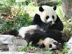Tough love (somesai) Tags: animal animals smithsonian panda tai nationalzoo endangered pandas dczoo butterstick