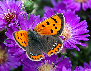 Butterfly (lycaena phlaeas) in my garden 1.