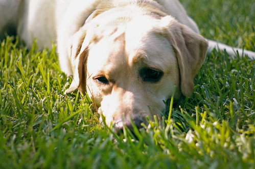 yellow labrador - roxie