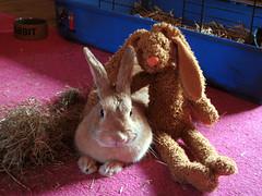 Friends (Sjaek) Tags: pet pets cute rabbit bunny bunnies carpet sweet konijn adorable fluffy pip hay bun