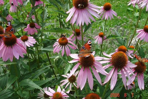 I used to grow these in my garden (echinacea) and they attracted scores of bees and butterflies.