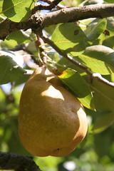Ripening pear