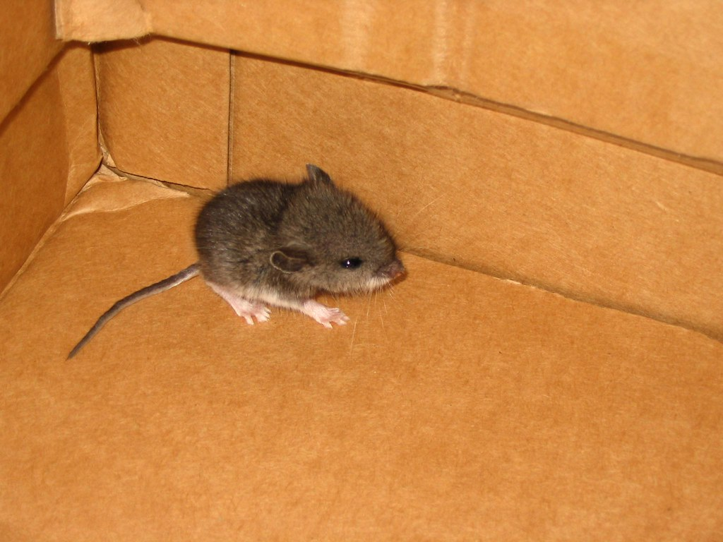 Ловить мышей в доме