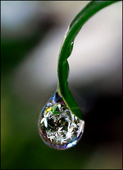 drop of clematis - by Steve took it