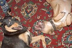 Mad dogs (~Glen B~) Tags: dog max dogs tess fighting satelliteportfolio