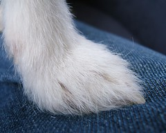 Daahling... do you like my new fabulous fluffy boot? (Catalia) Tags: dog paw furry jackrussell indi