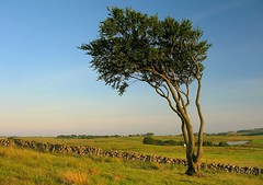 Lone Tree (Scott Foy) Tags: tree stone wall canon scotland fields a620 renfrewshire howwood abigfave scottfoy treesubject