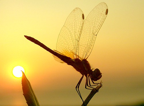 Dragonfly against Ayvalik sunset