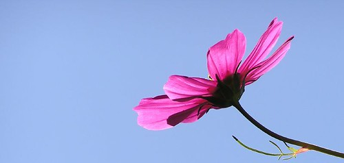 "cosmos • <a style=""font-size:0.8em;"" href=""http://www.flickr.com/photos/10528393@N00/245619413/"" target=""_blank"">View on Flickr</a>"