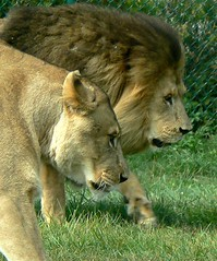 ~Lion and Lioness~