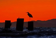 Bird in Bay (flopper) Tags: ocean california blue sunset red sea sky bird colors sunglasses silhouette grey bay bravo hills albany sanfranciscobay hdr trilogy gonewiththewind goldengatefields albanyca flopper interestingness27 i500 explorefrontpage photomatrix bonzag p1f1 explore20sep2006 iwillneverbehungryagain