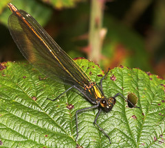"""Banded Demoiselle (Calopteryx splende(1) • <a style=""""font-size:0.8em;"""" href=""""http://www.flickr.com/photos/57024565@N00/249619615/"""" target=""""_blank"""">View on Flickr</a>"""