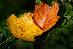 Leaves may fall where they will... (Flutterbye_856) Tags: autumn light fall nature leaves ilovenature vines seasons bokeh falling changing outstandingshot