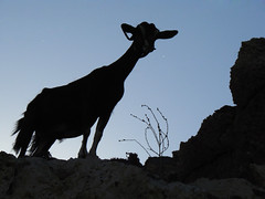 Goat (esther**) Tags: mountain bravo goat greece rhodes animalplanet lindos i500 250v10f abigfave bonzag p1f1 httpwwwflickrcomphotostags20123f25 interestingnesssep272006273 interestingnesssep27200615