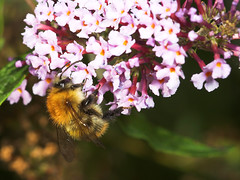 """Bummble Bee Bumbling about ) • <a style=""""font-size:0.8em;"""" href=""""http://www.flickr.com/photos/57024565@N00/254112617/"""" target=""""_blank"""">View on Flickr</a>"""