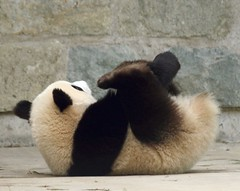 One and...a two..an an...ten (somesai) Tags: animal animals smithsonian panda tai endangered pandas taishan dczoo butterstick pandasunlimited