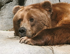 Kodiak Moment (akabyam) Tags: bear 15fav brown animal lumix fv5 sandiegozoo 110fav animalplanet alaskan akabyam specanimal animalkingdomelite