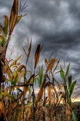 Corn (Stevacek) Tags: ilovenature corn hdr sweetcorn specnature