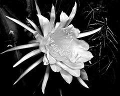 White on white at night (key lime pie yumyum) Tags: bw flower delete10 digital delete9 delete5 delete2 conversion florida delete6 delete7 save3 delete8 delete3 save7 save8 delete delete4 save save2 save9 save4 tropical keywest save6 channelmixer nightbloomingcereus save5carnagessave1