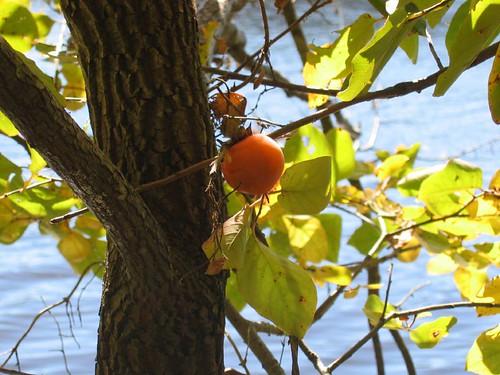 Ripening persimmon
