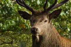 Mr Cautious Approaches (Dan Harrod) Tags: uk london nikon stag richmond antlers reddeer richmondpark d80 maledeer nikon70300mm animalkingdomelite malereddeer britishwildlifeandnature