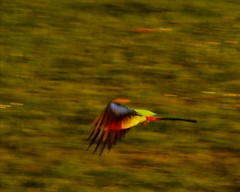 Rosie Go (Catching Magic) Tags: newzealand birds olympus e300 tiraudan rosella parakeets om135mmprime 43rdsadapter