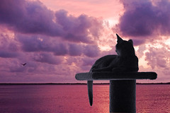 Stormwatcher (key lime pie yumyum) Tags: sunset water clouds cat purple florida keywest abyssinian floridakeys
