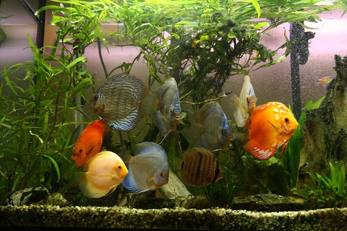 While discus fish are fun to