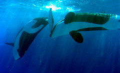 So Happy Together (Orcasforever) Tags: ontario canada dolphin whale orca marineland grampus nootka kiska cetacean orka blackfish orque nootka5