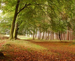 cannock,autumn (Mark Twells) Tags: autumn trees brown green leaves gold cannock