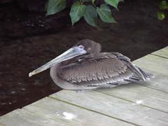 Brown Pelican (Pelecanus occidentalis ) Juvenile (Honey Monster) Tags: brown bird nature pelican jamaica juvenile ochorios occidentalis pelecanus dolphincove utatafeature