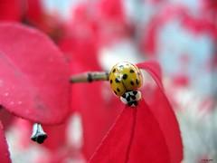 Ladybug - by Harold_5056