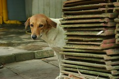 IMG_4698 a rather shy dog which peered at me f...