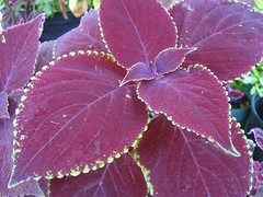 Coleus (Dappled Apple Baby 2006-03)