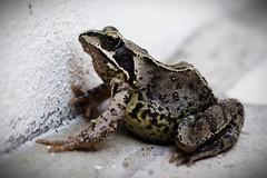 Frog (SteveMcN) Tags: animal garden brighton fuji amphibian frog s3pro