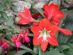 Cameron - Rose Garden (monbusi) Tags: flower rose highlands cameron