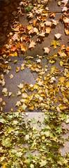 Traffic Light Leaves (jbhalper) Tags: autumn red green fall leaves yellow polaroid maple ground sycamore acer lookingdown spectra sugarmaple 990 aceraceae nigrum acersaccharum saccharum acernigrum blackmaple photomeditation