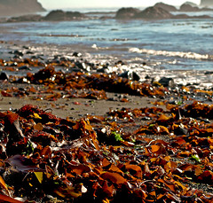 Blessed (Laurie York) Tags: california seaweed ilovenature interestingness explore mendocino autumngold anotherkindofautumnharvestbounty