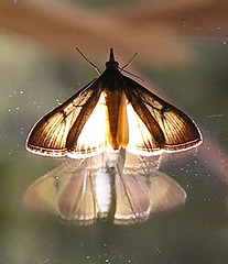 "illuminated moth • <a style=""font-size:0.8em;"" href=""http://www.flickr.com/photos/10528393@N00/282478138/"" target=""_blank"">View on Flickr</a>"
