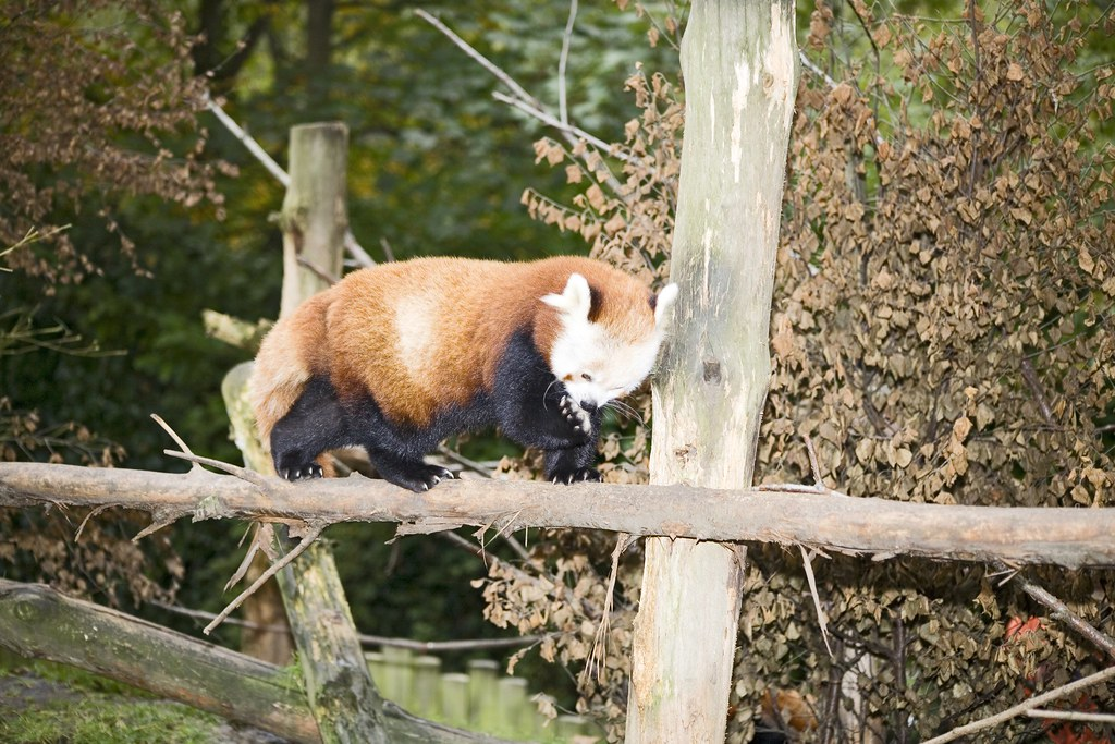 RED PANDA - DUBLIN ZOO