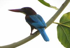 IMG_3075 (mohandep) Tags: birding lake bangalore madivala karnataka nature wildlife t