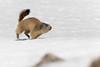 Marmottes - Marmota marmota (olivier teilhard) Tags: marmotte marmotamarmota nature sauvage libre vercors diois drôme rhônealpes france canon7dmarkii canon100400 olivierteilhard