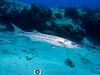 Barracuda (R. Donald Winship Photography) Tags: aquaticlife cozumel divingunderwater greatbarracuda tormentosreef